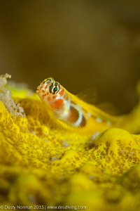 """""""Gobe Face"""" An Orange Sided Gobe resting on a yellow spo... by Dusty Norman"""