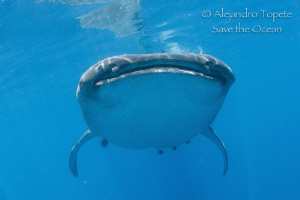 Amazing encounter with Whale Shark, Isla Contoy México by Alejandro Topete
