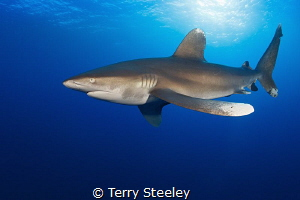 early 5.00am start rewarded Oceanic white tip dancing morning sun. 500am 00am sun