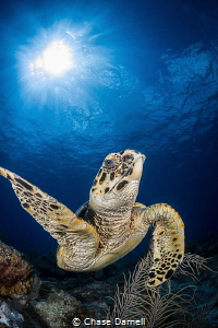 """""""High Five"""" A Hawksbill Turtle throwing up his fin in th... by Chase Darnell"""