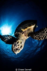 """""""Dive"""" A Hawksbill Turtle dives down from the surface wi... by Chase Darnell"""