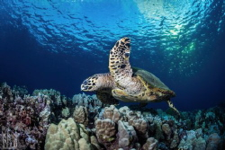 There are less than 100 nesting female Hawksbill Turtles ... by Lyle Krannichfeld