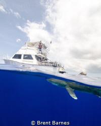 An oceanic white tip shark's dorsal fin breaks the surfac... by Brent Barnes