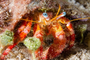 Blue eyes Crab, Cozumel Mexico by Alejandro Topete
