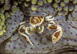 Anemone crab by Fabio Strazzi