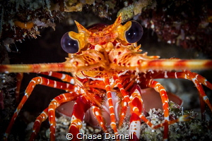 """""""Look into my Eyes"""" A close up of a Lobster in the swim ... by Chase Darnell"""