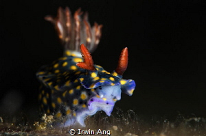 T H R E E  Nudibranch (Hypselodoris sp.) Anilao, Philip... by Irwin Ang