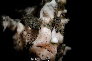 F A C E Warty frogfish (Antennarius maculatus) Anilao, ... by Irwin Ang