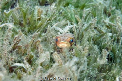 Juvenile puffer by David Owens