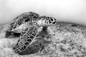 green turtle (N'gouja - Mayotte) by Mathieu Foulquié