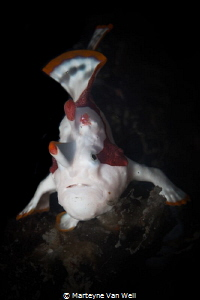 A cute little clown frogfish at the Lembeh Resort house reef by Marteyne Van Well