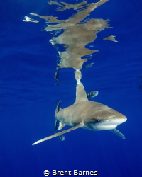 Oceanic White Tip Shark and Surface Reflections by Brent Barnes