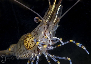 Common prawn. by Mark Thomas