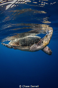 """""""Surface Time"""" A large Hawksbill catching a breather at ... by Chase Darnell"""
