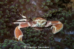porcelain crab by Joachim Neumann