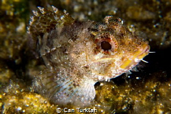 Scorpaena Porcus shot in Bodrum by Can Turktan