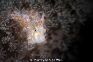 Minute Filefish with attitude by Marteyne Van Well