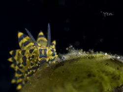 stiliger ornatus