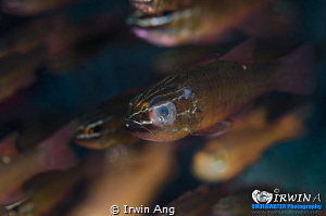 D I S A B L E Cardinal fish (Apogonidae) Anilao, Philip... by Irwin Ang