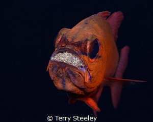 Feeling broody... Subal underwater housing Canon 5D mk2 EF 100mm macro f20 1200 ISO200 Inon Z240 strobe broody 1/200, 1200, 200,