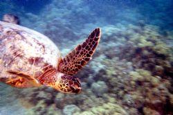 Super Turtle!!! Nikonus-V by Chris Lawford