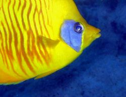Read Sea Masked Butterfly Fish  at El Quseir Housereef by Beate Krebs