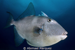 Curious Gray Triggerfish by Abimael Márquez
