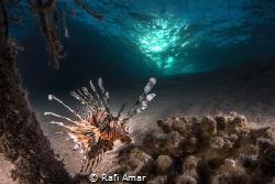 Lion fish and Sun by Rafi Amar