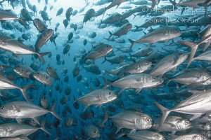 School of Jacks, Cabo pulmo México by Alejandro Topete