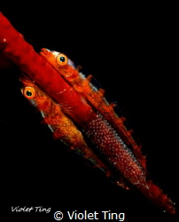 Gobies and eggs by Violet Ting