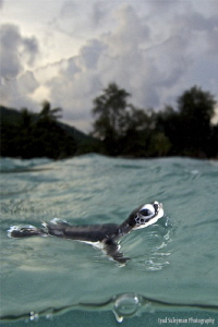 This baby turtle has just reached the water first time in... by Iyad Suleyman