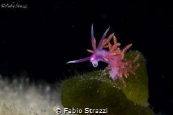 Flabellina  ischitana by Fabio Strazzi