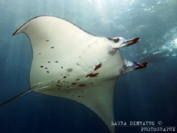 Manta ray (Manta birostris) over cleaning station by Laura Dinraths