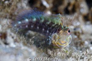 Seaweed Blenny, Blue Heron Bridge — Subal underwater hou... by Terry Steeley