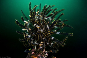 feather star (Dauin, Philippines) by Mathieu Foulquié