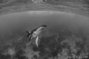 Southern Humpback Whale in Rurutu by Henrik Gram Rasmussen