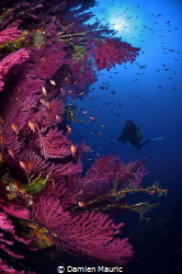 Red gorgonians on a Corsican wall. by Damien Mauric