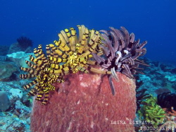 Feather stars trio by Laura Dinraths