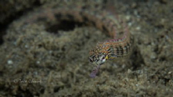 Messmate Pipefish by Taco Cheung
