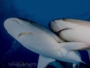 Cheek to Cheek Two Caribbean Reef Sharks.  by Jan Morton