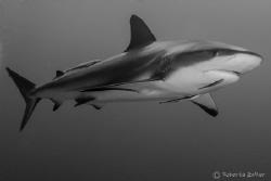 Caribbean reef shark, Canon 7D, Nauticam housing, Tokina ... by Roberta Zeller