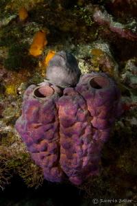 Frog fish on sponges. Canon 7D, Nauticam housing, Tokina ... by Roberta Zeller