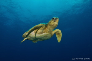 Swimming turtle, Nauticam housing, Tokina 10-17MM, Sea & ... by Roberta Zeller