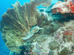 In March 2012 I made this image of a sea turtle using a f... by Jeff Schweitzer