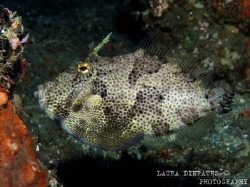 Patterned filefish by Laura Dinraths