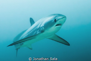 Tresher Shark by Jonathan Sala