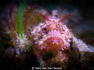 red scorpi by Marc Van Den Broeck
