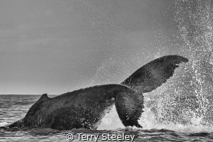 'The tale of a whale.' Canon 1Dx, Canon EF70-200mm @ 160... by Terry Steeley