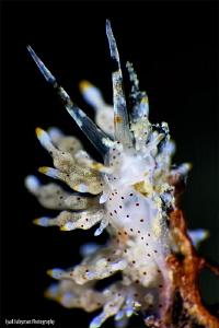 Nudibranch by Iyad Suleyman