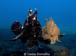 Frogfish dance by Laura Dinraths
